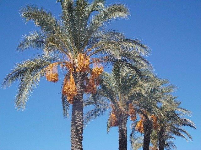 datlové palmy