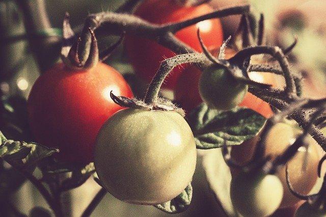 rostoucí rajčata detail