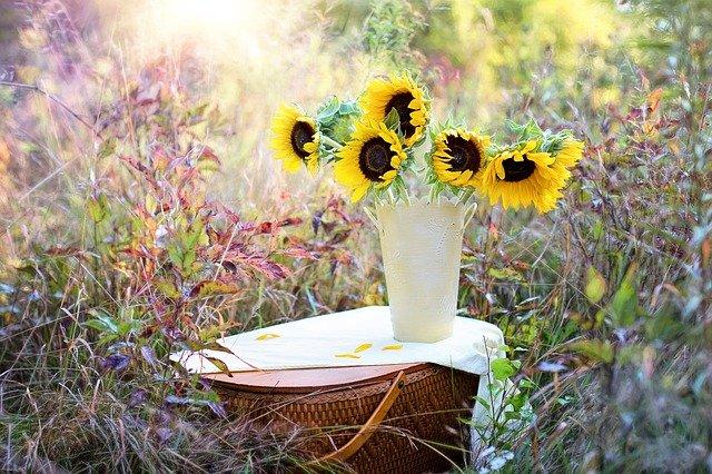 natrhané slunečnice