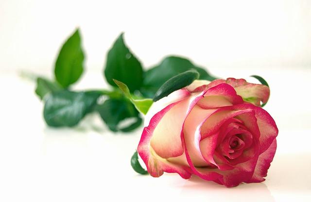 romantická růže