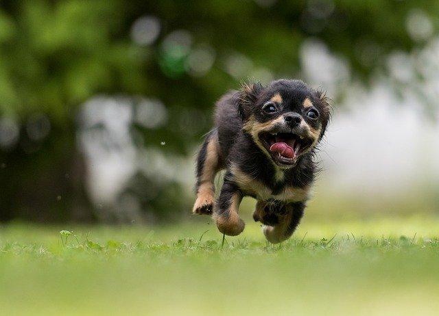letící pes