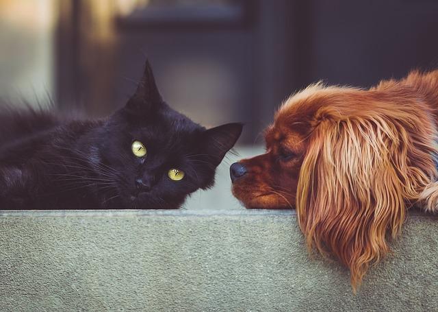 kočka s kokršpanělem